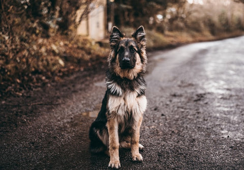 CBD Oil for Dogs: What You Need to Know – Zona Naturals