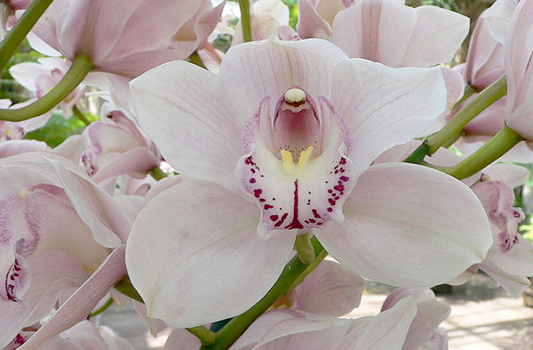 A close up of a Cymbidium Orchid