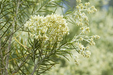 Native Curry Bush | Warndu | Photo by Murray Fagg, near Armidale, NSW