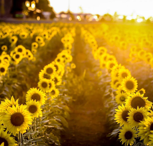 Know Your Oils - Sunflower Oil