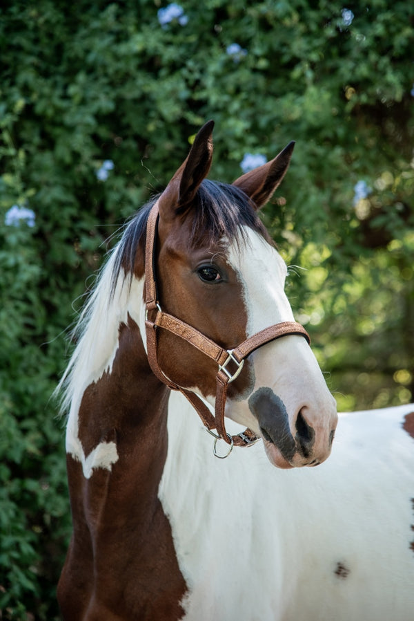Shiny Brown Halter with Lead