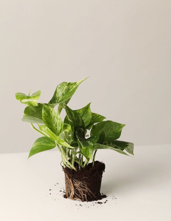 Efeutute Marble Queen -