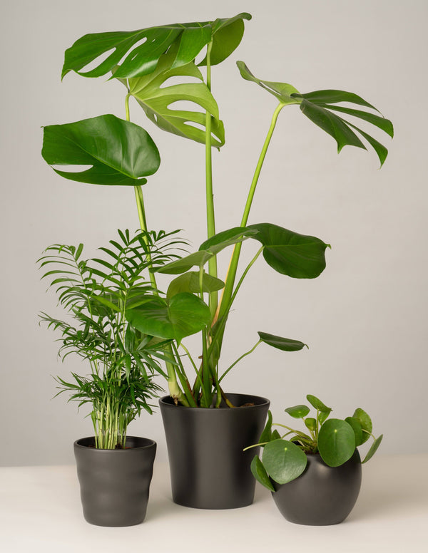 Bergpalme, Monstera, Pilea - Anthrazit