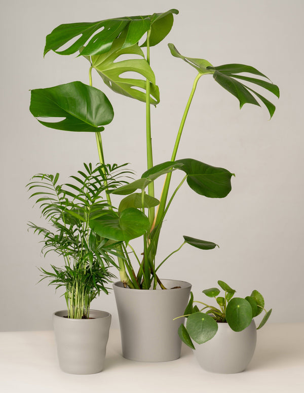 Bergpalme, Monstera, Pilea - Stone Grey