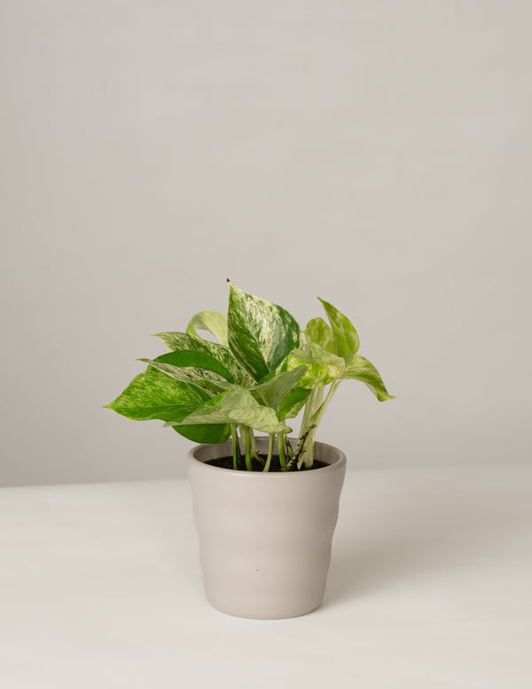 Efeutute Marble Queen im Lilly Topf - Stone Grey