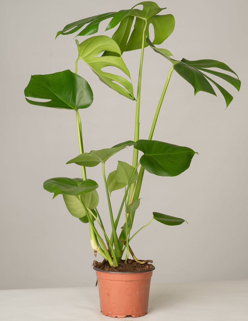Nestfarn, Monstera, Pilea -