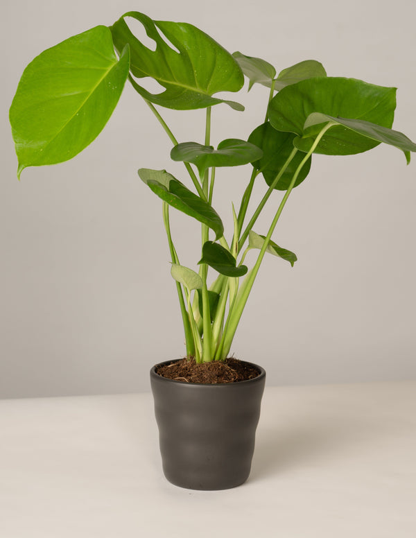 Monstera Deliciosa im Lilly Topf - Anthrazit