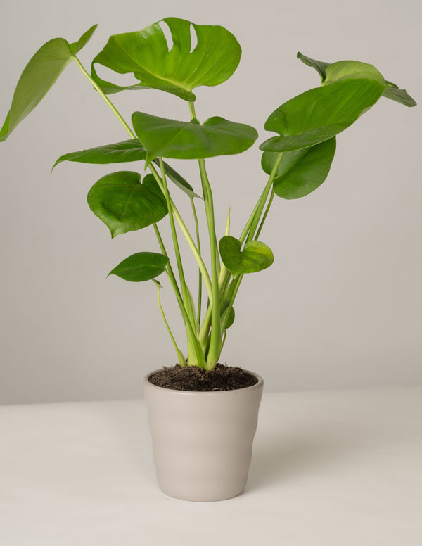 Monstera Deliciosa im Lilly Topf - Stone Grey