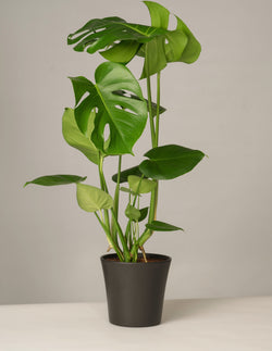 Monstera Deliciosa Gerrit Topf - Anthrazit