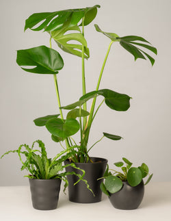 Nestfarn, Monstera, Pilea - Anthrazit