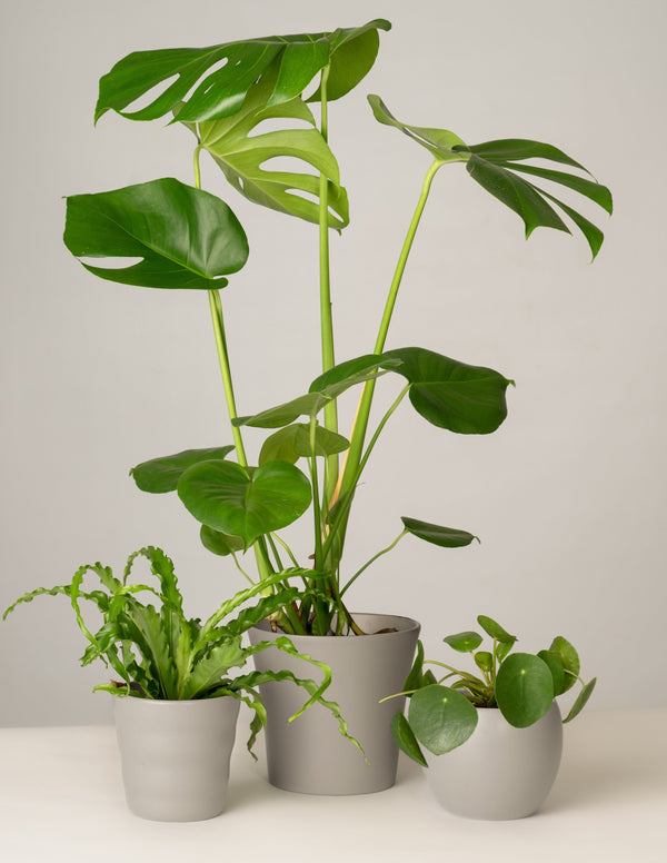 Nestfarn, Monstera, Pilea - Stone Grey