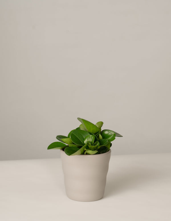 Peperomia Green Gold im Lilly Topf - Stone Grey