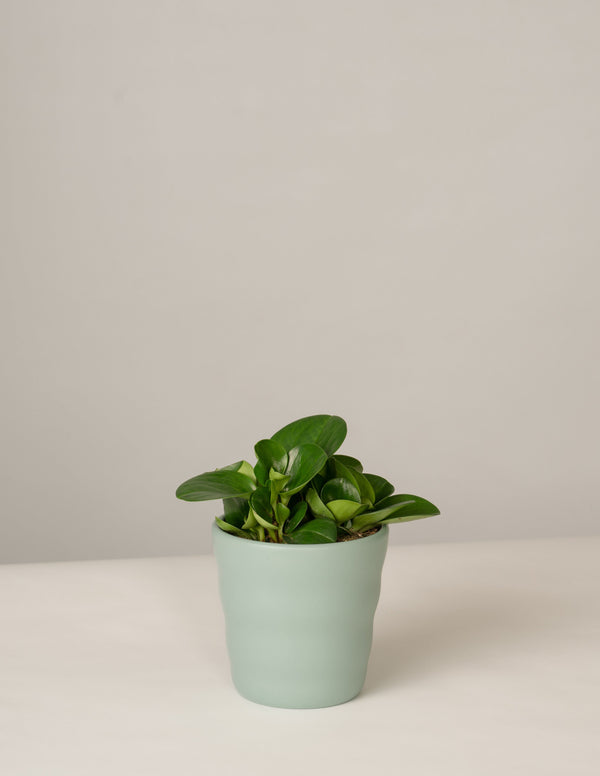 Peperomia Green Gold im Lilly Topf - Green Surf