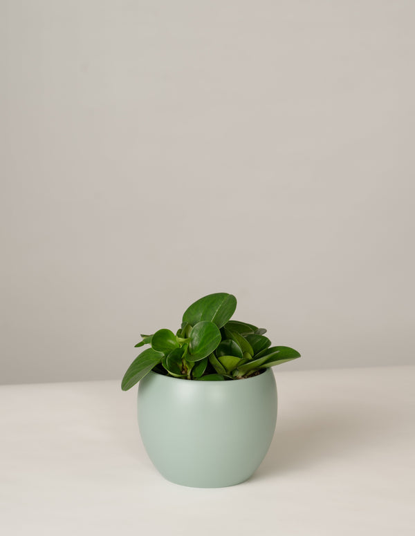 Peperomia Green Gold im Lyonel Topf - Green Surf