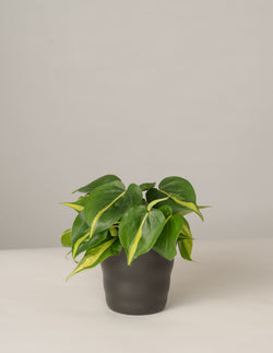 Philodendron Brasil im Lilly Topf - Anthrazit