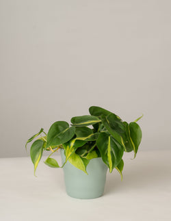 Philodendron Brasil im Lilly Topf - Green Surf