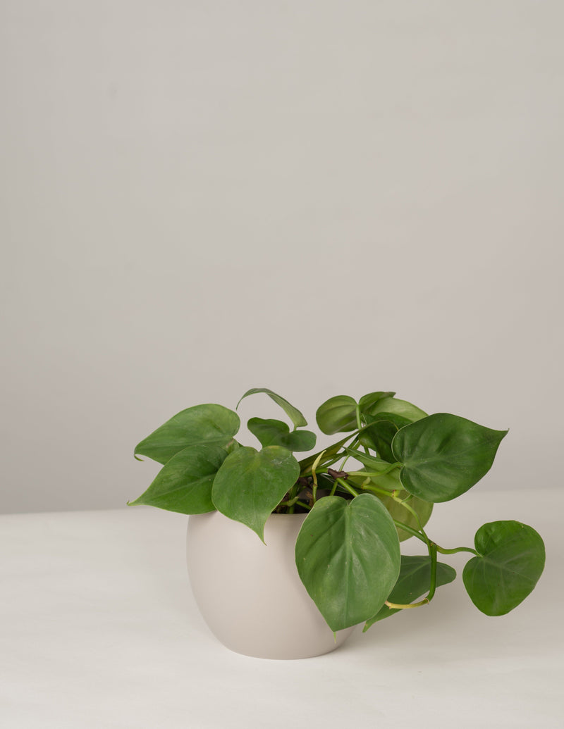 Philodendron Scandens im Lyonel Topf - Stone Grey