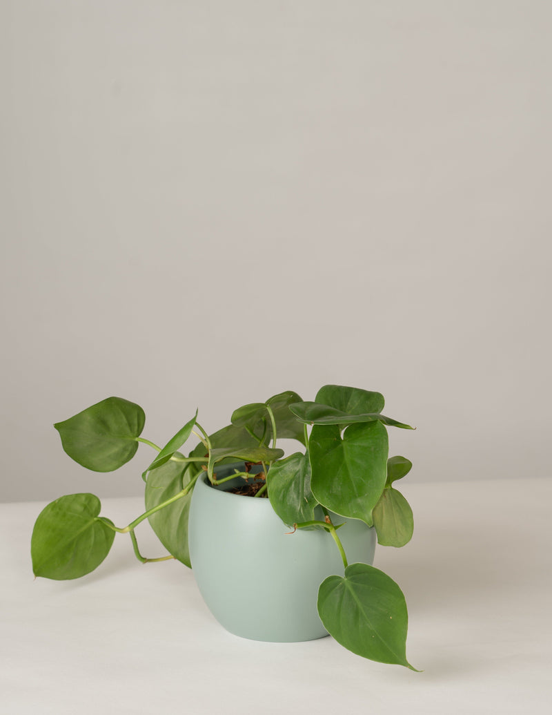Philodendron Scandens im Lyonel Topf - Green Surf