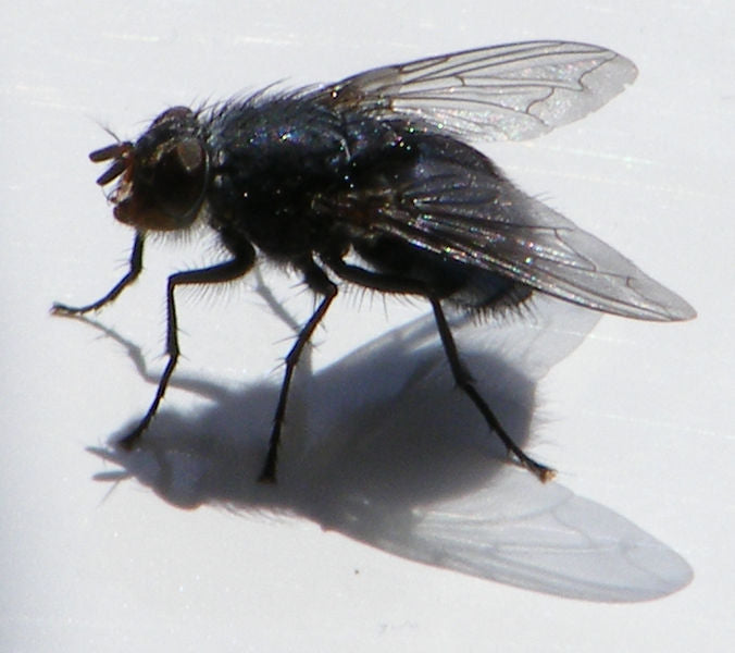 House fly on window sill