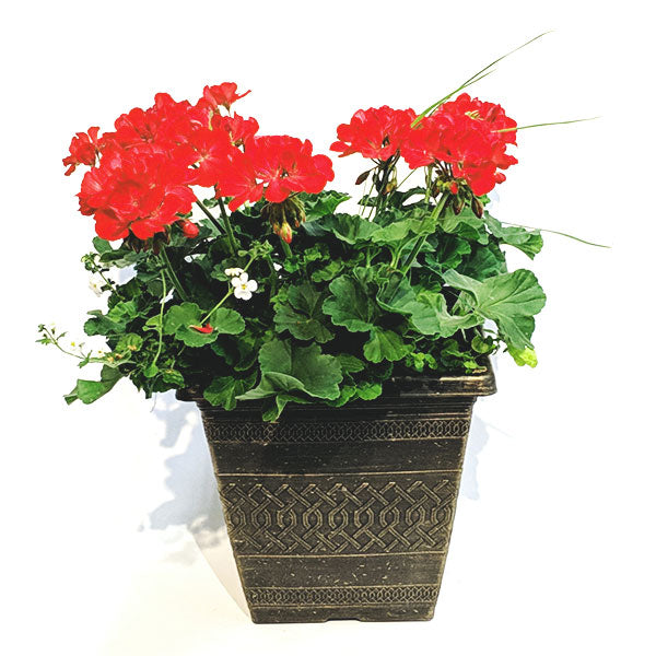 Small Geranium Patio Pot