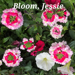Bloom, Jessie Hanging Basket