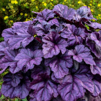 Heuchera (Purple)