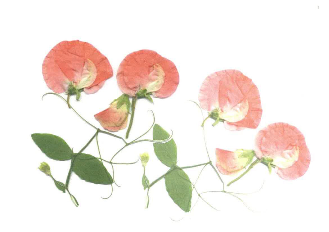 Pack of 4 blank inside (Sweet Pea, peach - RPB10b)