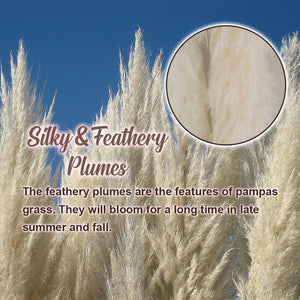 Pampas Grass Seeds