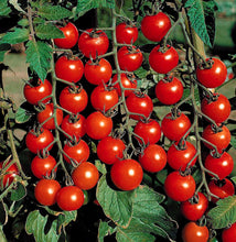Load image into Gallery viewer, Live Tomato Plant: Supersweet 100 (Cherry)