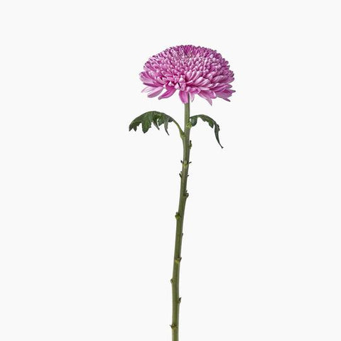 Single Stems - Pink Chrysanthemums