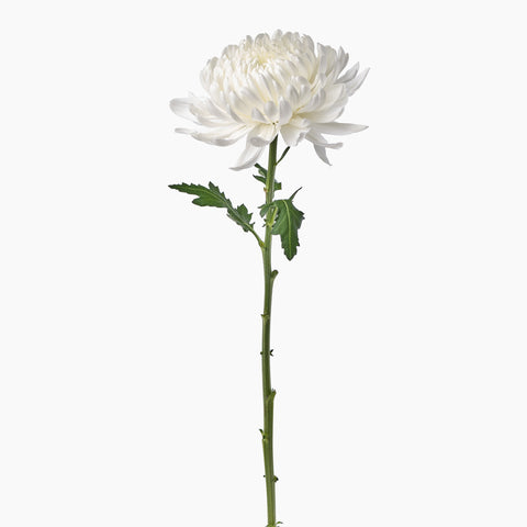 Single Stems - White Chrysanthemums