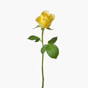 Open image in slideshow, Yellow Roses