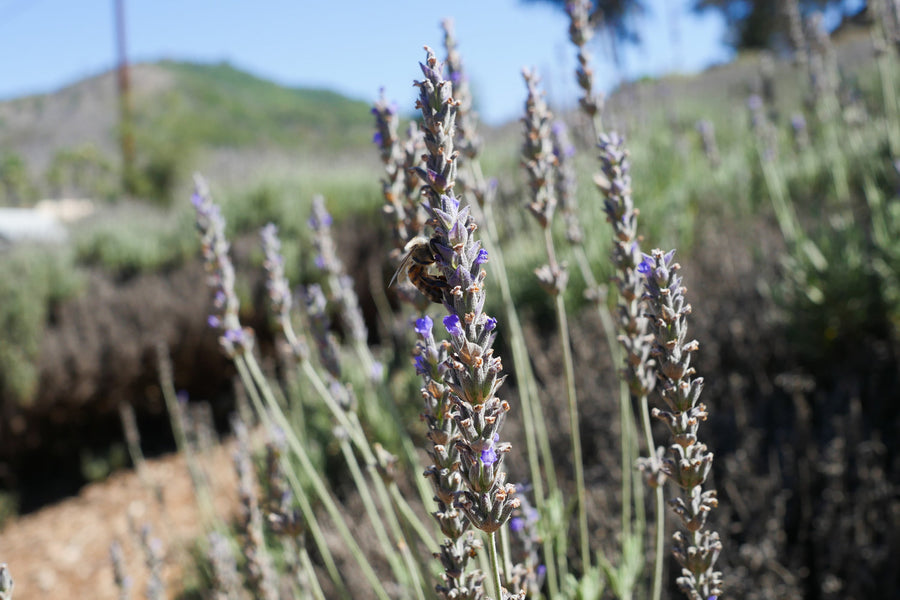 Sourcing Lavender from Keys Creek Farm