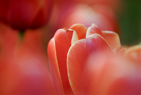 Tulip Dreams Red