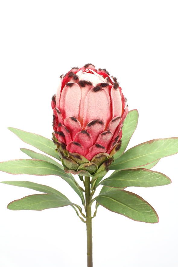 Large Pink Red Protea
