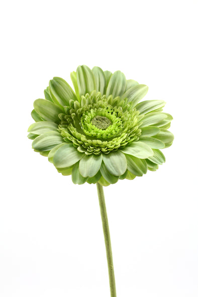 Gerbera Artificial Flower - Green 68cm