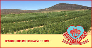 A cuppa all the way from the Cederberg – how Rooibos is harvested