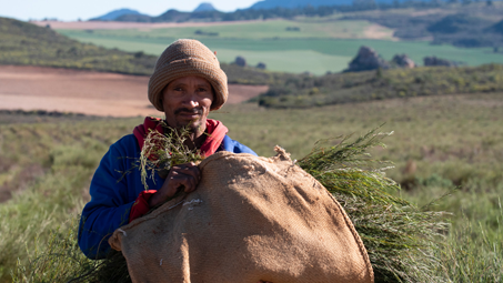 Rooibos being harvested in the Cederberg Mountains of South Africa