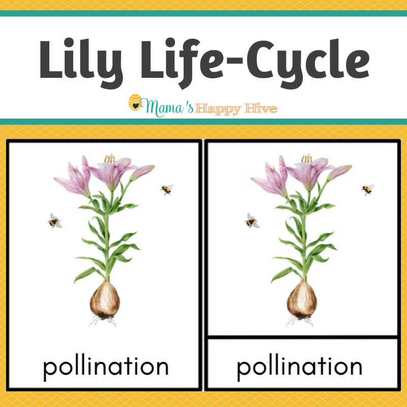 Lily Life-Cycle Montessori 3-Part Cards & Spinner