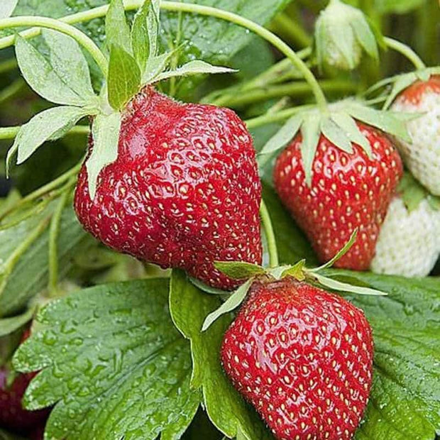 Strawberry Seeds - OGarden Store