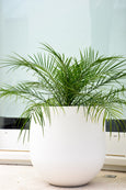 Date Palm in a Fresh White Pot