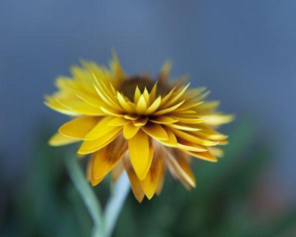 Helichrysum Extra Essential Oil