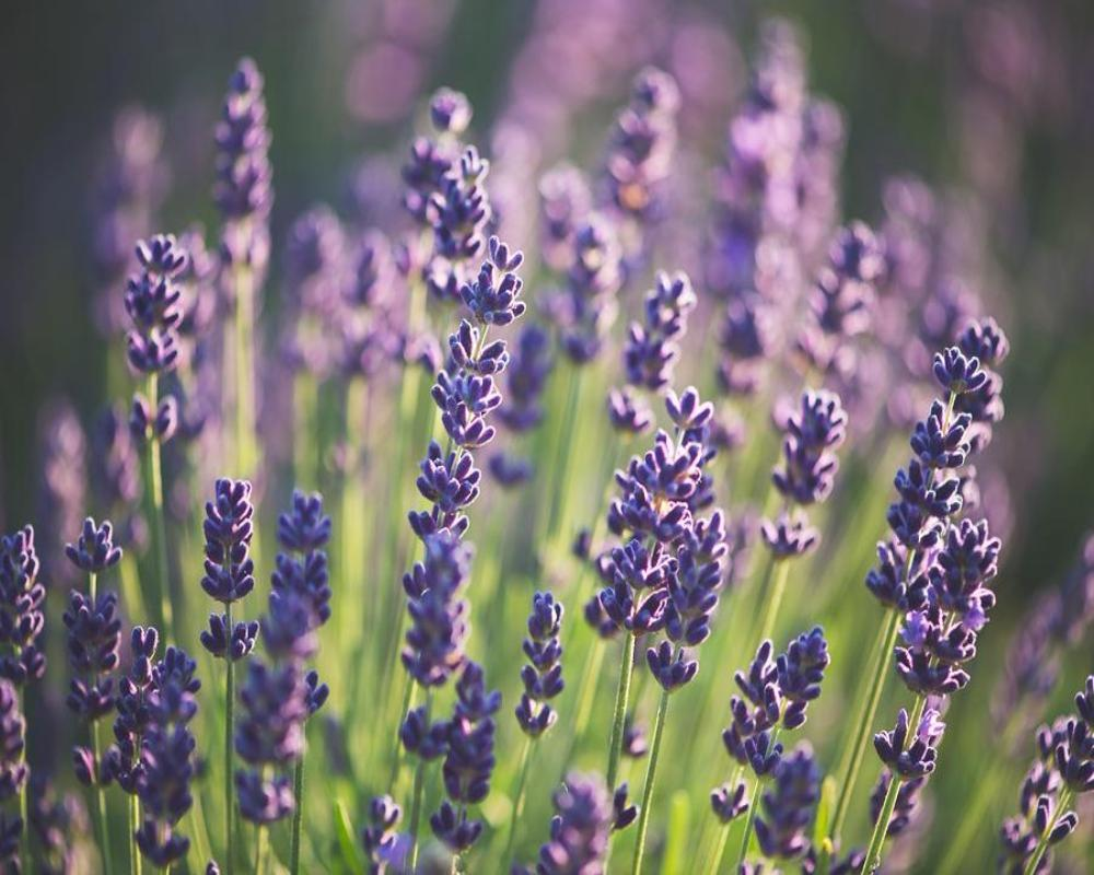 Lavender, Highland Extra Essential Oil