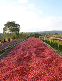 Beautiful shot of the coffee berries being dried on raised beds in Sidama, Ethiopia.