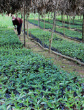 Shot of the coffee berry plants at Smallholder Farmers.