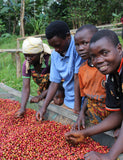 Four farmers harvesting coffee berries at Smallholder Farmers in the Kayanza province in Burundi.