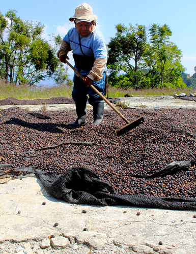 A coffee plant farmer harvesting the coffee berries used in the Colombia - Santa Barbara blend.