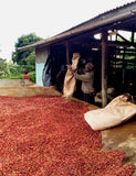 Image of Baragwi farmers harvesting the coffee berries used in the Kenya - Mount Kenya blend.
