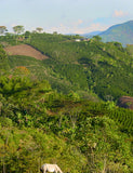 Scenic image of a coffee plant farm that is part of the San Roque Association located in Colombia.