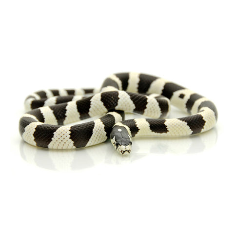 Black & White Banded California King Snake